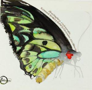 Ornithoptera richmondia